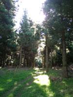 ラジアータパインの森